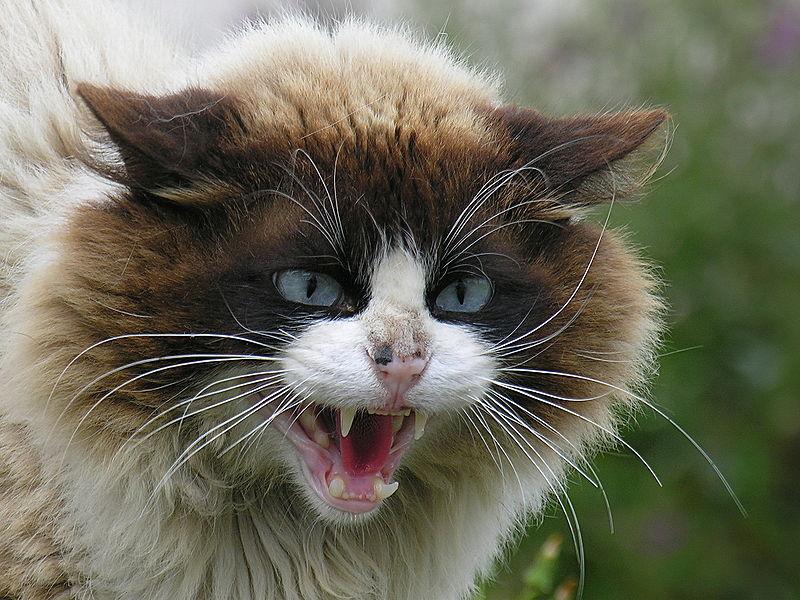 saya kucing garang