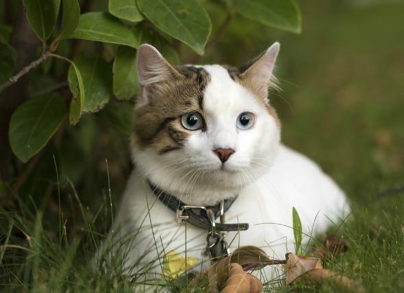 saya kucing innocent 699