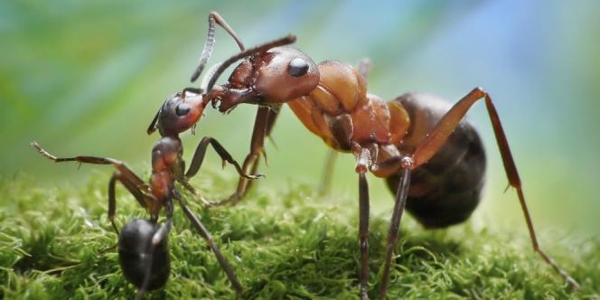 semut besar dan semut kecil