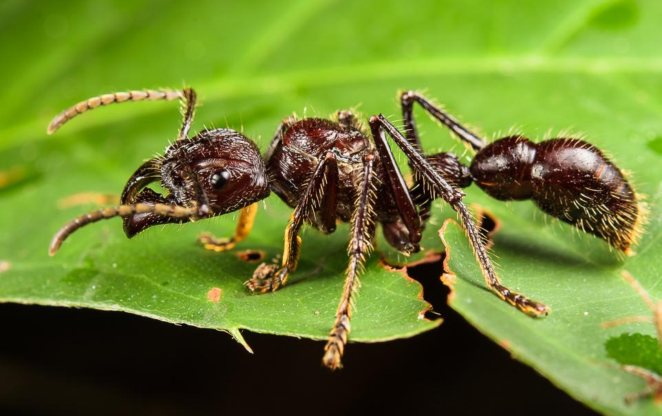 semut peluru serangga berbisa di dunia