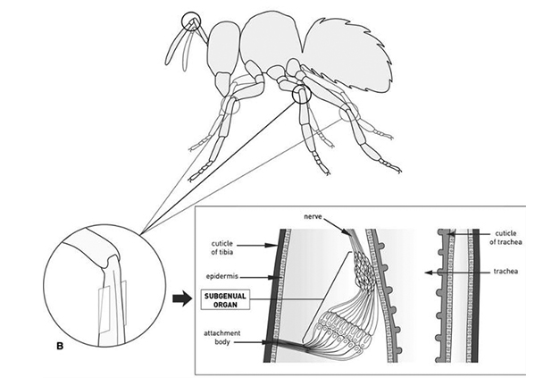 semut tidak mempunyai telinga subgenual organ