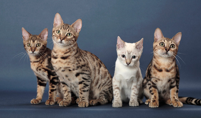 sesetengah kucing memiliki genetik yang cenderung untuk mengalami keguguran bulu
