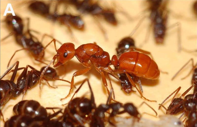 sesetengah semut memperhambakan semut lain polyergus lucidus 759