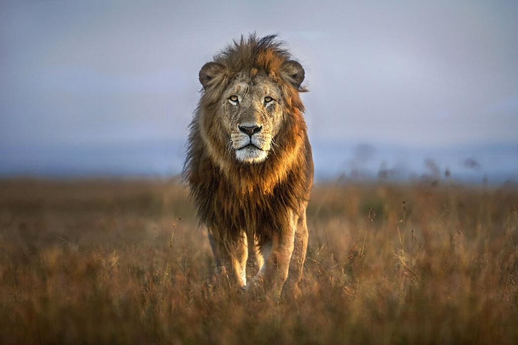 singa afrika 908