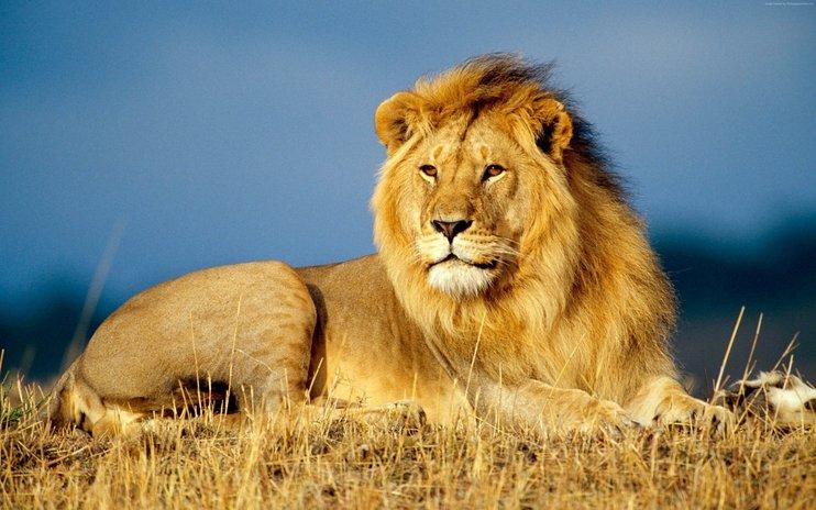 singa lebih hebat daripada harimau