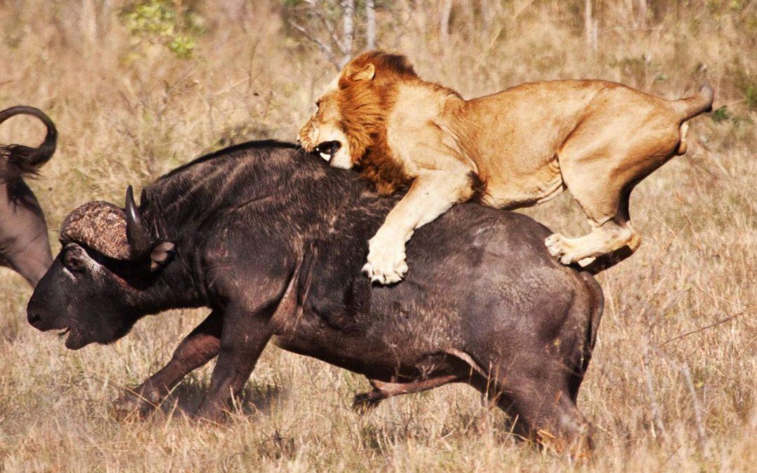 singa pemburu yang agak handal