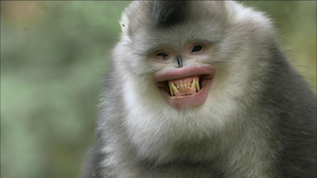 snub nose monkey 201