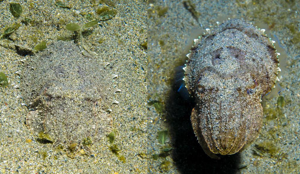 sotong katak teknik penyamaran haiwan paling hebat