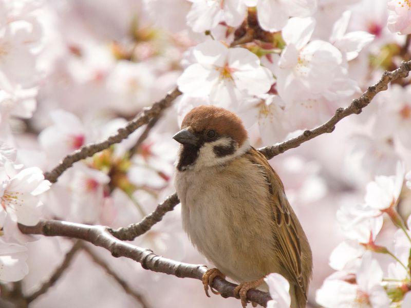 spesis burung yang semakin berkurang di fukushima