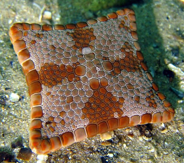 square biscuit starfish