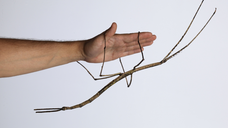 stick insect serangga ranting kayu