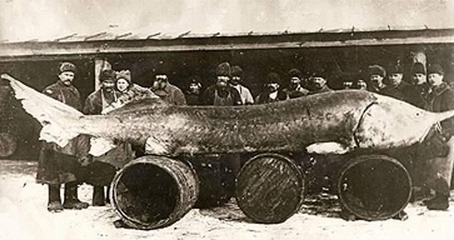 sturgeon ikan paling besar pernah ditangkap oleh manusia