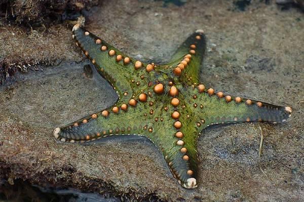 Mengapa Starfish Digelarkan Tapak Sulaiman Dalam Bahasa Melayu Iluminasi