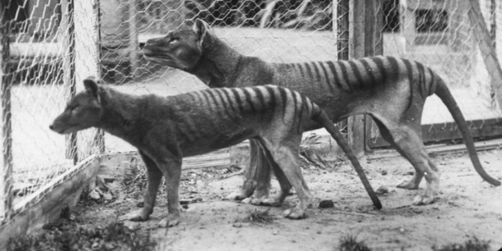 tasmanian tiger 2 801