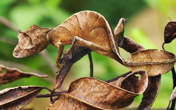 teknik penyamaran cicak daun