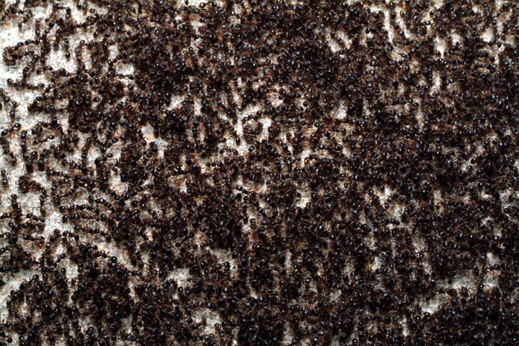 terlalu banyak semut di muka bumi
