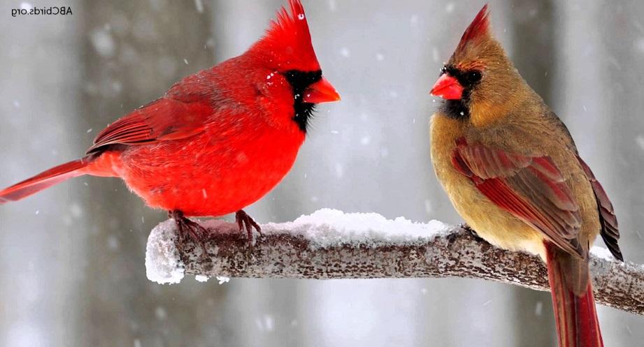 the northern cardinal