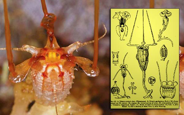 thismia neptunis tumbuhan alien sarawak malaysia