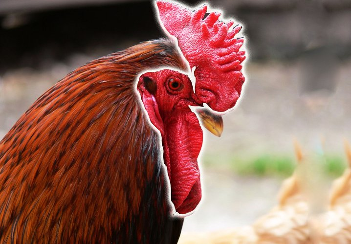 6600 Gambar Binatang Ayam Jago HD Terbaik