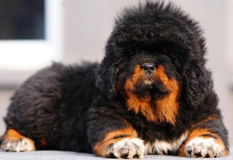 tibet mastiff bewarna hitam