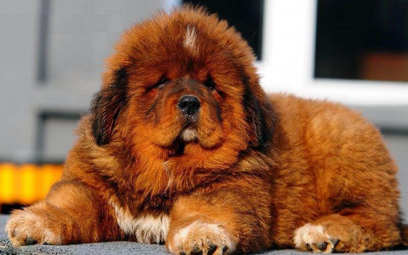 tibet mastiff yang masih kecil
