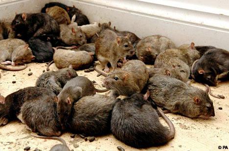 tikus berkeliaran
