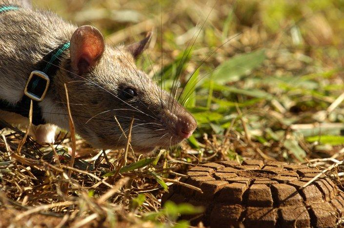 tikus gambia mengesan periuk api