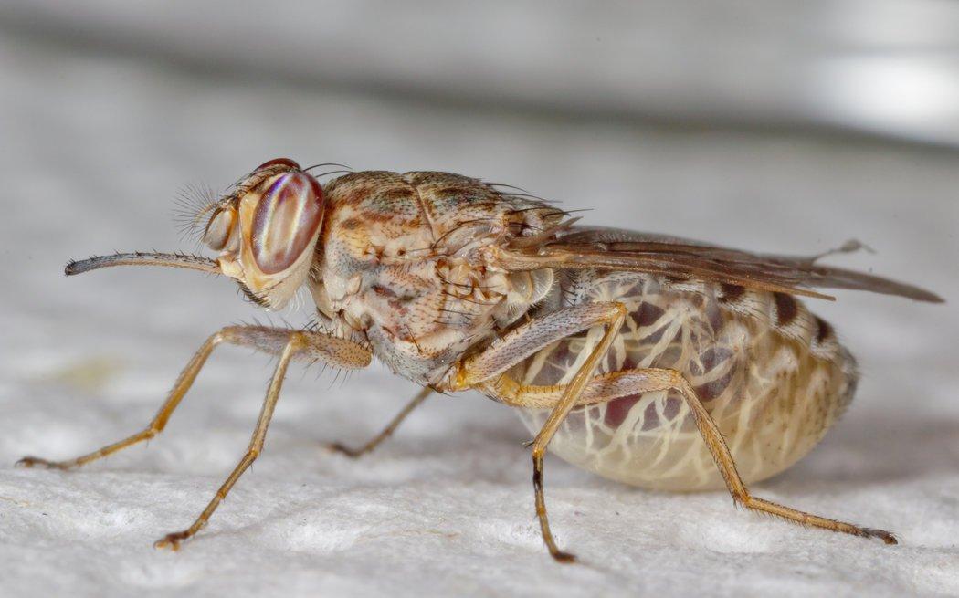 tsetse fly serangga paling berbisa di dunia