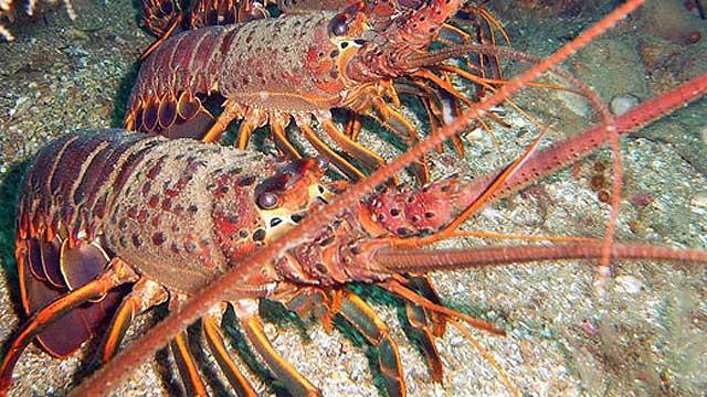 udang galah lobster war