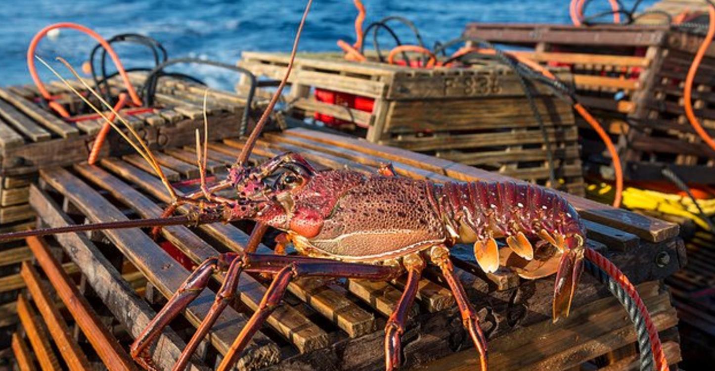 udang galah perang lobster