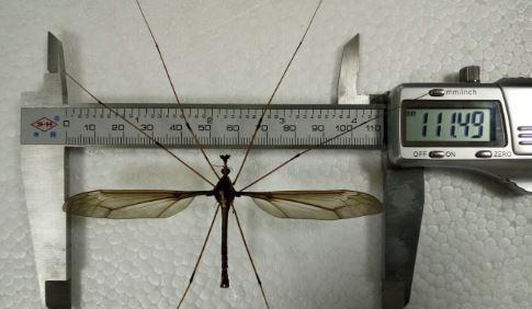 ukuran nyamuk paling besar di dunia