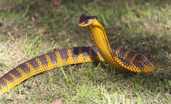 ular berbisa di australia