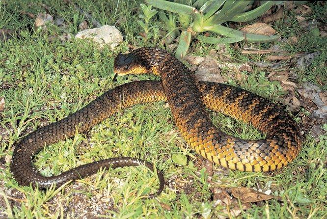 ular harimau ular paling berbisa di dunia