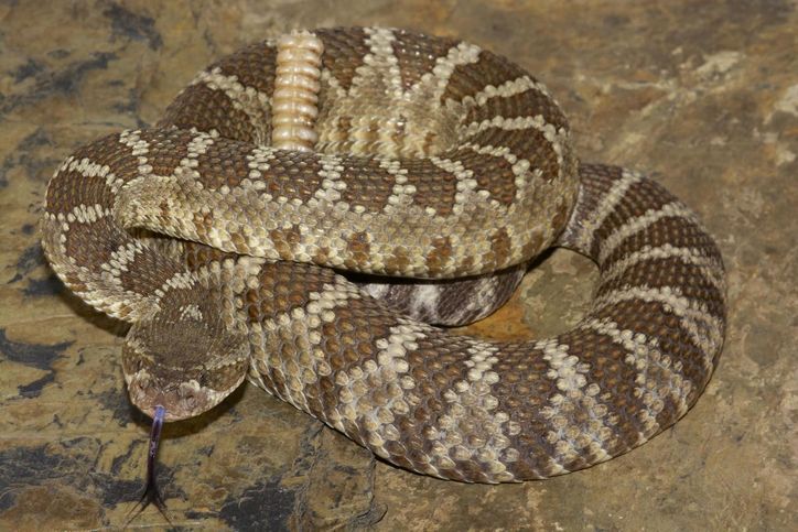 ular olok olok
