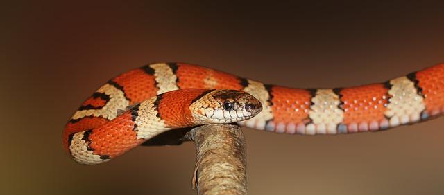 ular oren