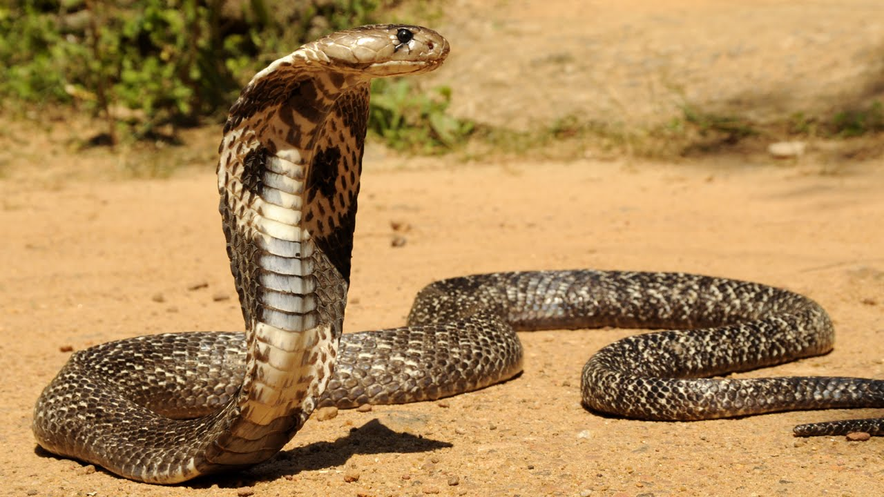 ular penyebab kematian