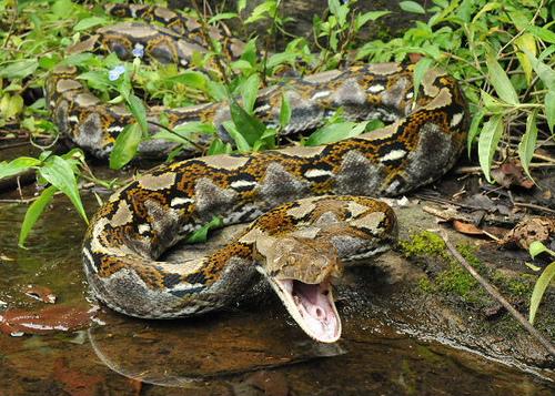 ular sawa batik ular paling besar di dunia 2