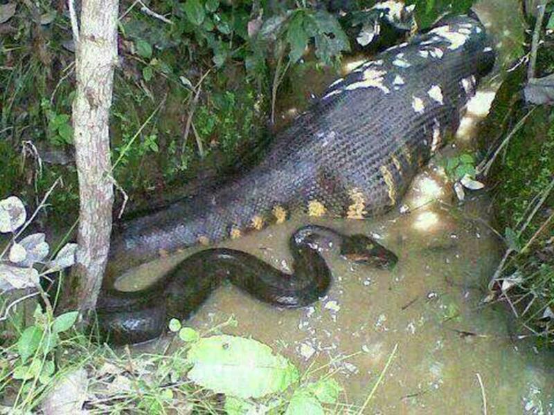 ular sawa batik ular paling besar di dunia