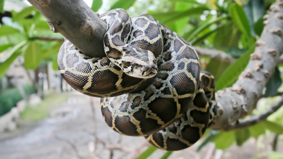 ular sawa burma ular paling besar di dunia