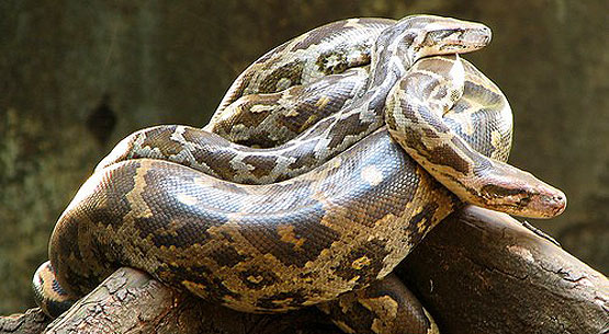 ular sawa india ular paling besar di dunia 3