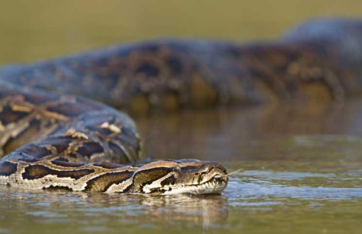 ular sawa india ular paling besar di dunia