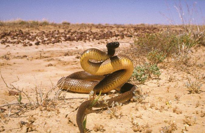ular taipan pedalaman ular paling berbisa di dunia