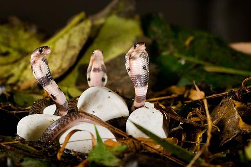 ular tedung antara spesis ular yang bertelur