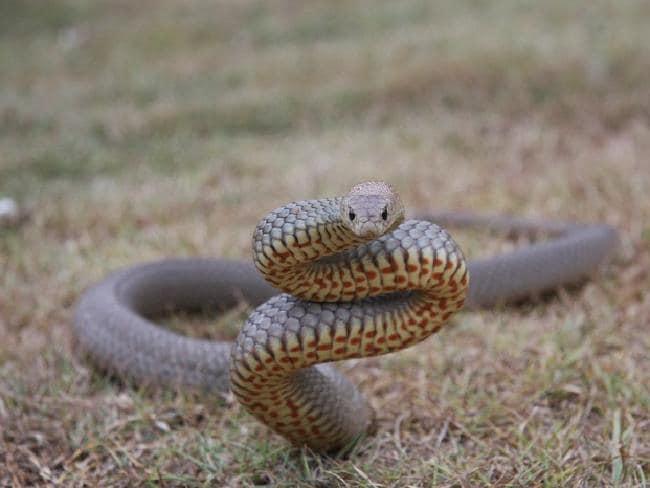 ular tedung coklat ular paling berbisa di dunia