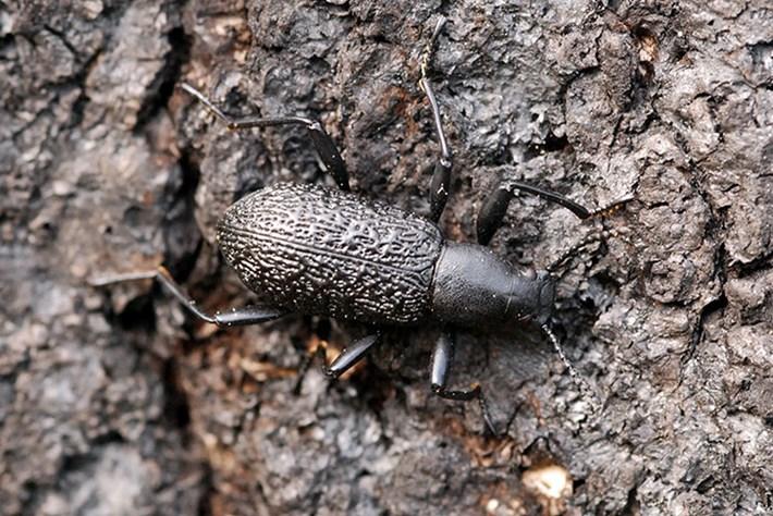 upis beetle kumbang upis tahan lasak hidup beku