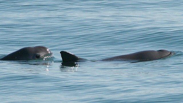 vaquita spesis marin rare yang sangat terancam 6 658