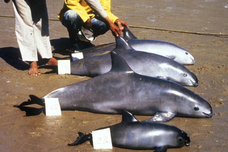 vaquita spesis marin rare yang sangat terancam 7