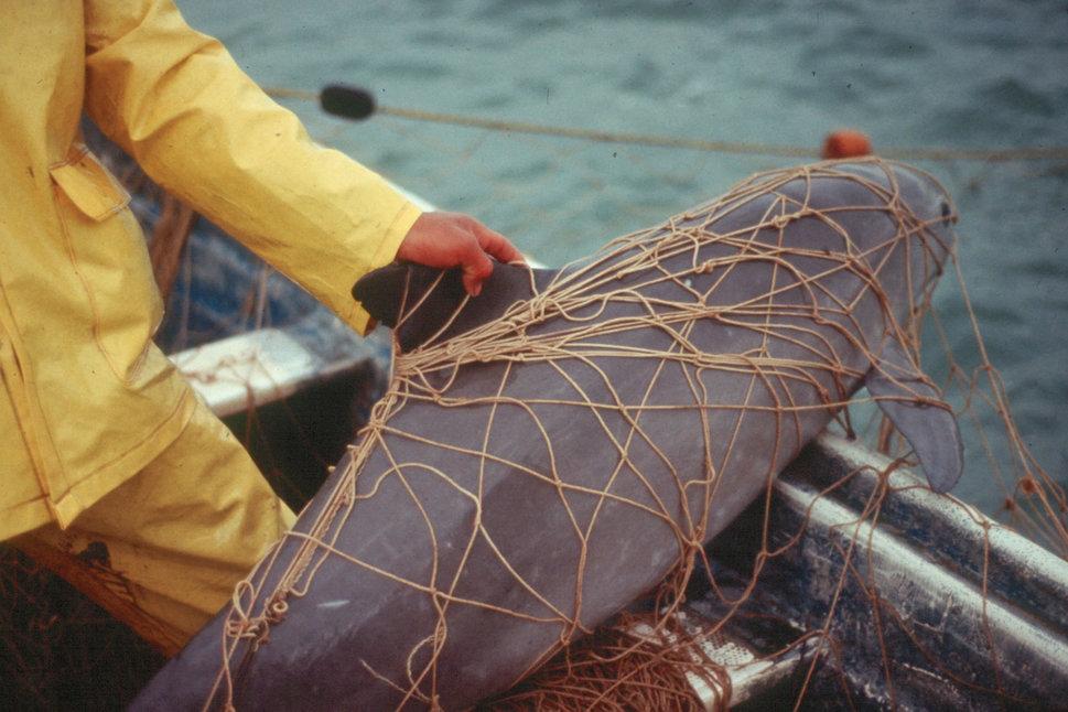 vaquita spesis marin rare yang sangat terancam 8