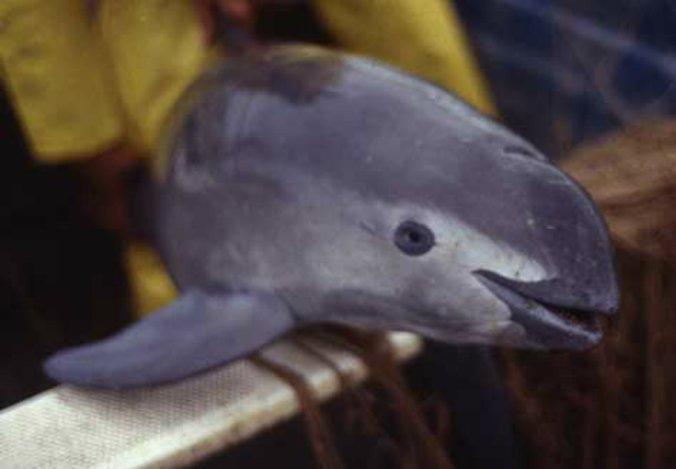 vaquita spesis marin rare yang sangat terancam 9
