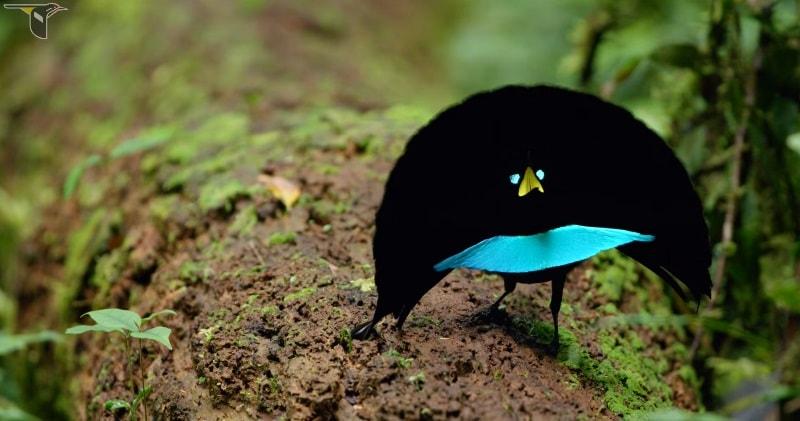 vogelkop spesis baru bird of paradise yang sangat menakjubkan 2